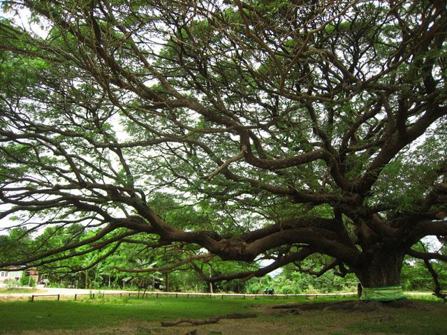 Дерево - мудрый гигант