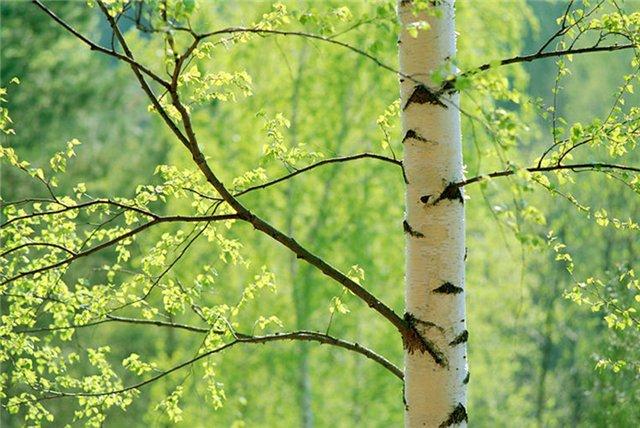 Деревья, экология леса