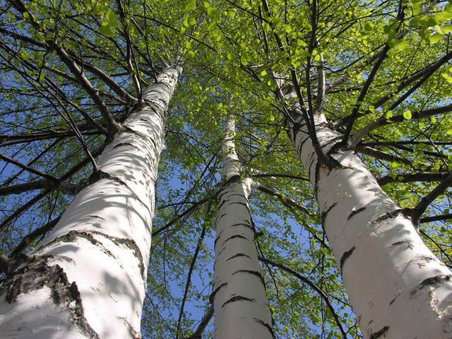 Береза, значение деревьев